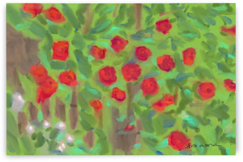 Roses by Isra Aara Ibrahim Shafeeu