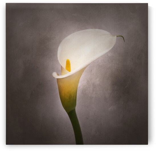 Graceful flower - Calla No. 4 | vintage style  by Melanie Viola