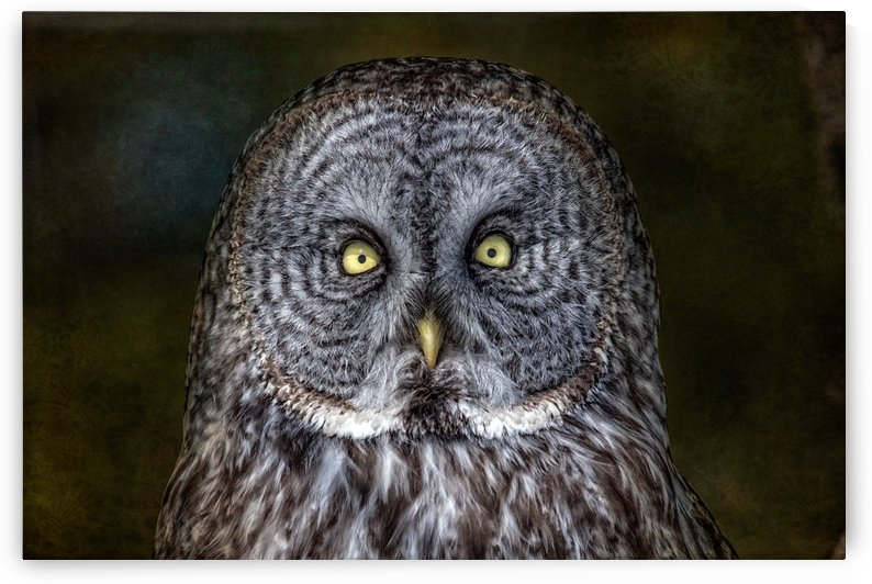 Stare Down with a Great Grey Owl by Michel Soucy