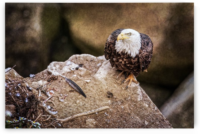 Bald Eagle on a Ledge by Michel Soucy