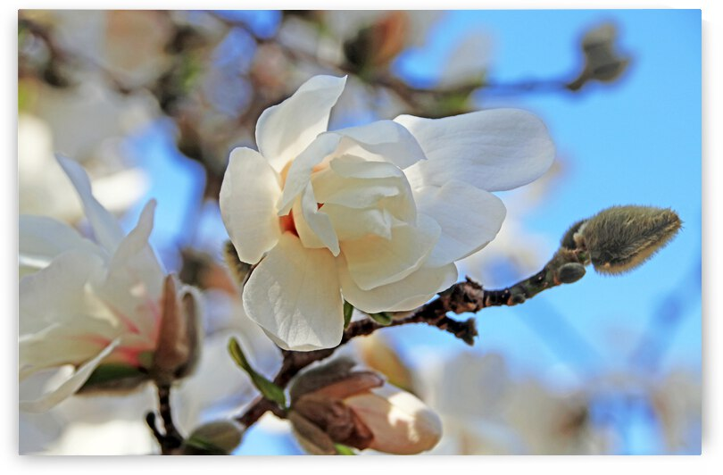 Magnolia Buds And Blooms by Deb Oppermann
