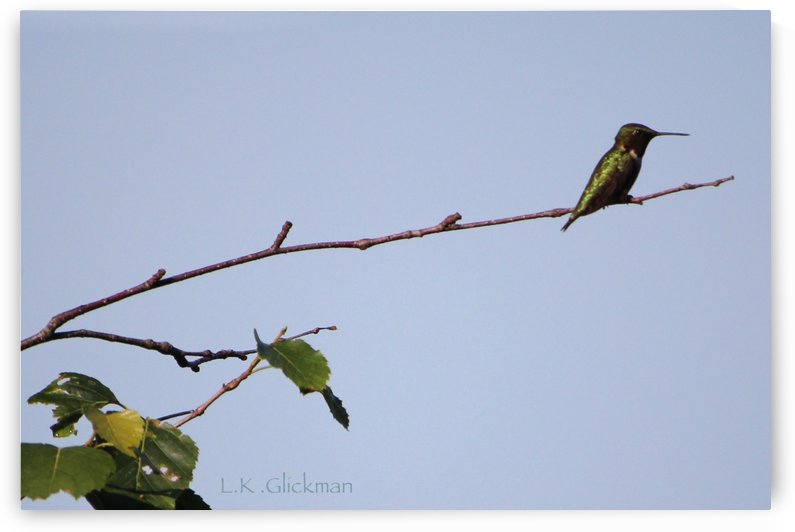 hummingbird 1 by LK Glickman