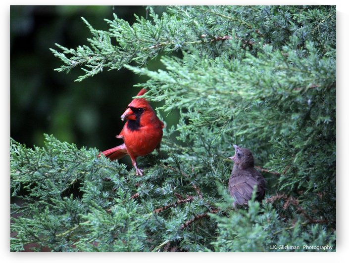cardinal dad feed5 by LK Glickman