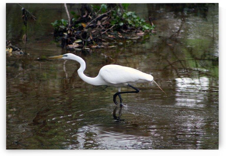great egret by LK Glickman