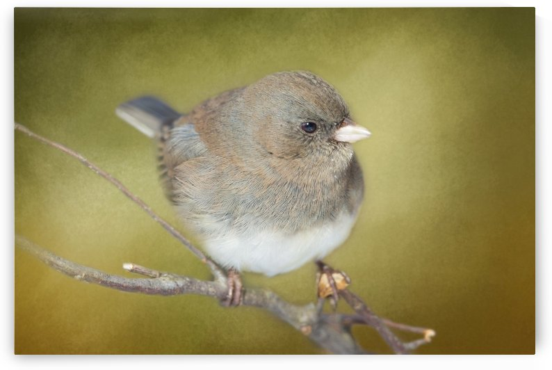 Dark Eyed Junco with Texture by Michel Soucy
