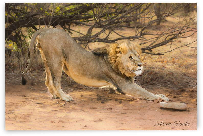 Male Lion Stretching by Sabrina Colombo