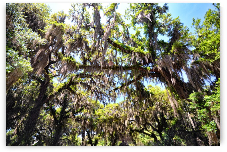Southern Live Oak with Spanish Moss Canopy on Jekyll Island by Bill Swartwout Photography