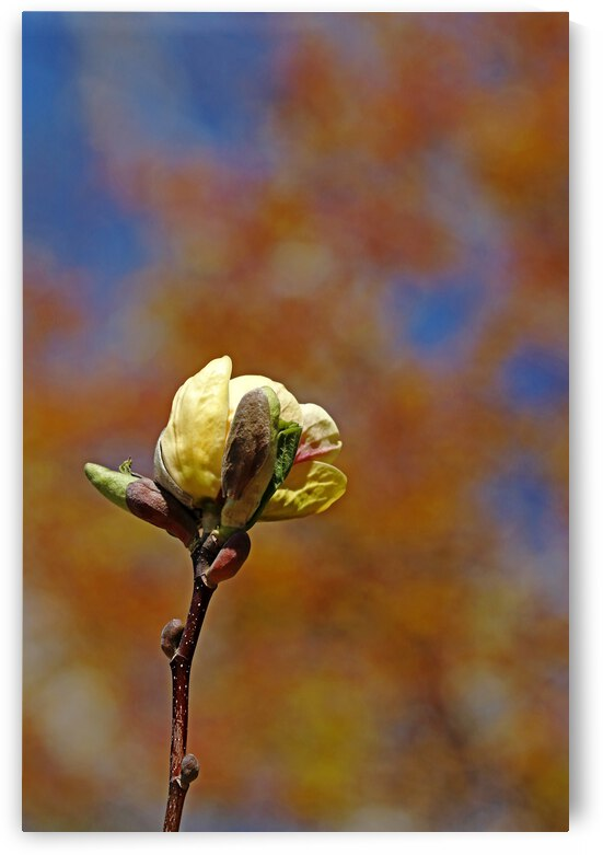 Single Magnolia Bloom With Buds by Deb Oppermann