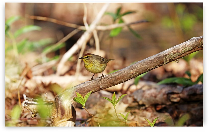 Palm Warbler Perched by Deb Oppermann
