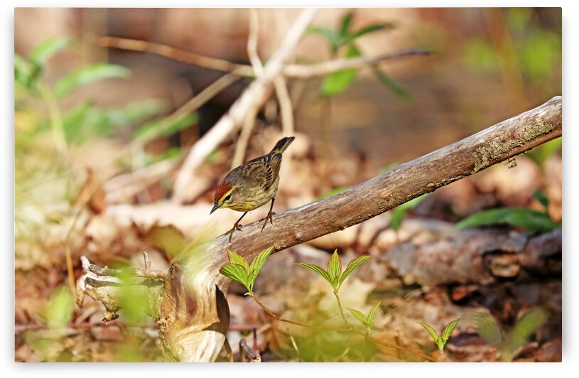 Palm Warbler Foraging by Deb Oppermann