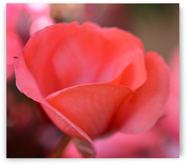 Pink Rose Photograph by Katherine Lindsey Photography