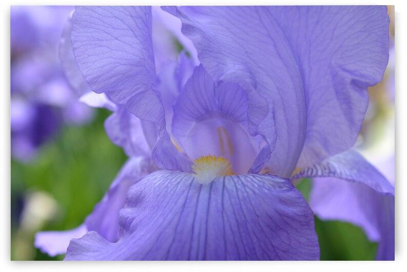 Blue Iris Photograph by Katherine Lindsey Photography