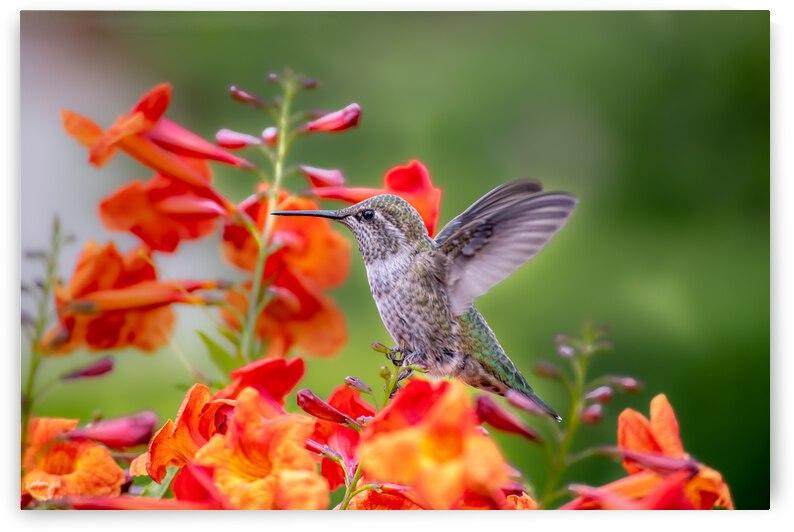 Hummingbird by Ava Sinha