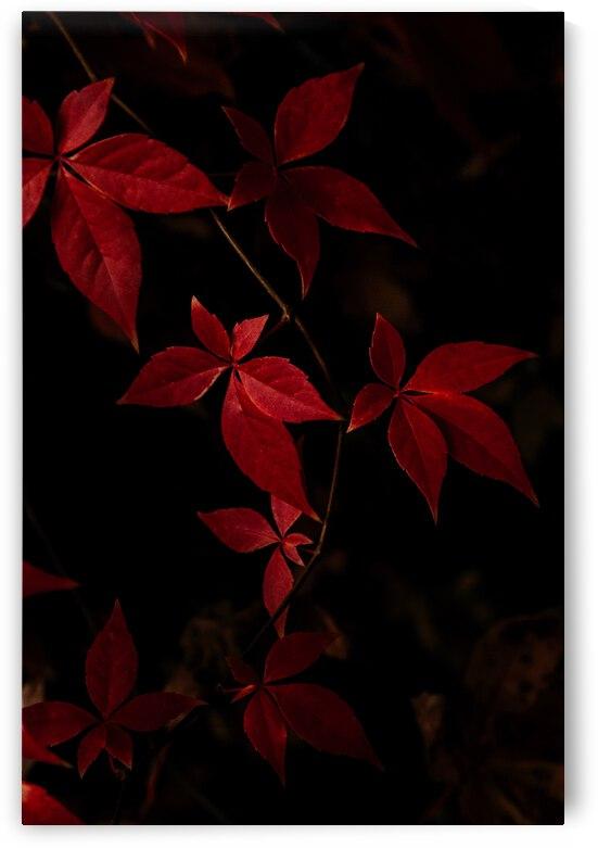 Dark red autumn leaves on black by Andreea Ligia