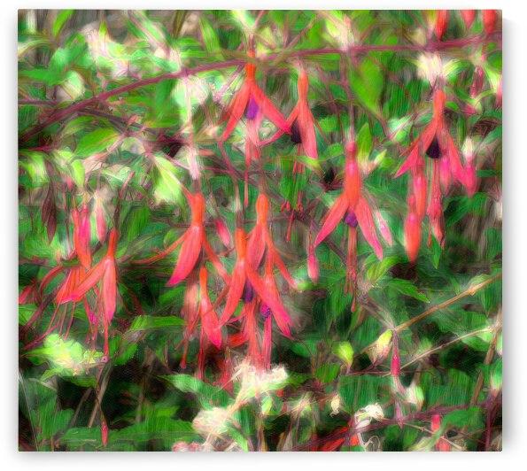 fuchsia magellanica by Barbara Treen