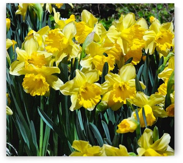 Yellow Daffodils wc by Barbara Treen