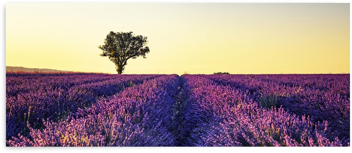 Lavender field at sunset by Manjik Pictures