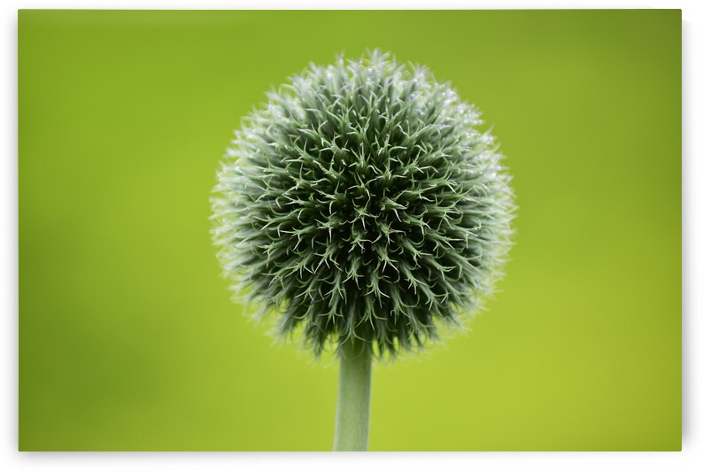 Allium by Andy LeBlanc