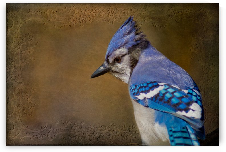 Blue Jay with texture by Michel Soucy