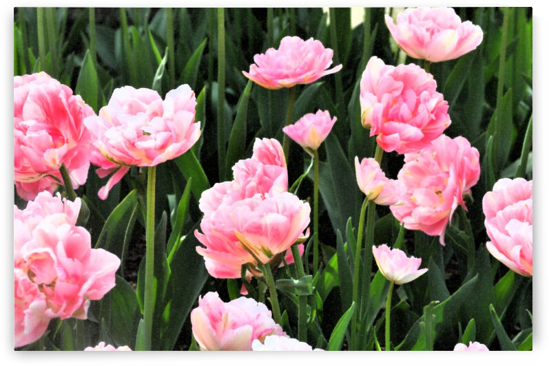 Double Pink Tulips by Barbara Treen