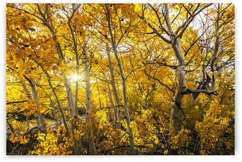 Aspen Sunlight in the Sierra Nevada Mountains by Evan Petty Photography