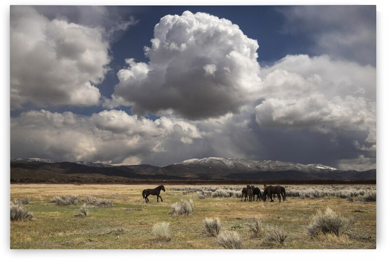 Wild Stallion Calling His Mares by Evan Petty Photography