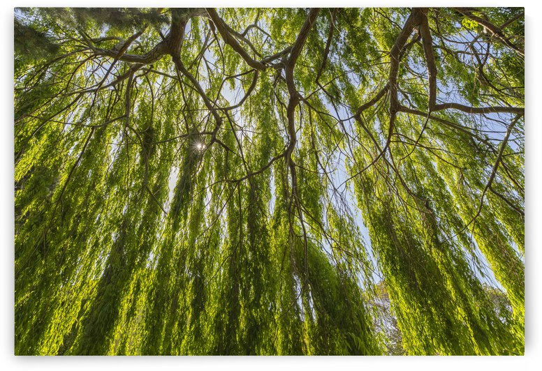 Under A Weeping Willow Tree by Evan Petty Photography