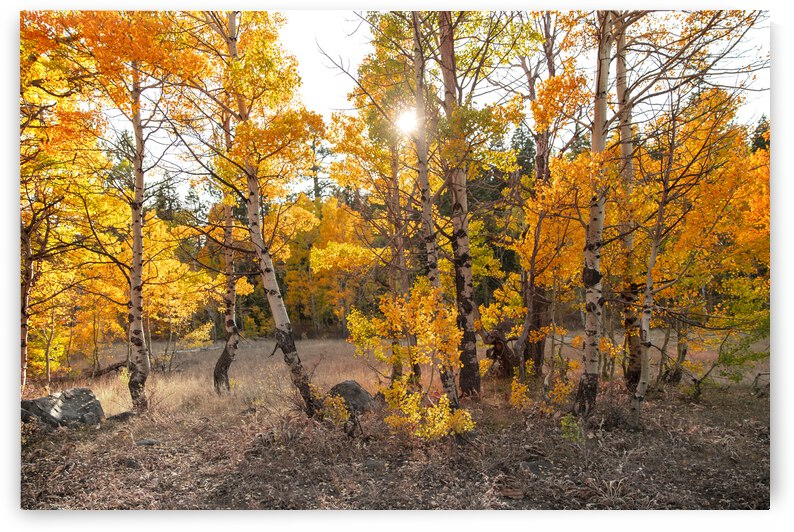 Yellow Aspen Trees by Evan Petty Photography