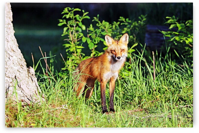 Red Fox Keeping An Eye Out by Deb Oppermann