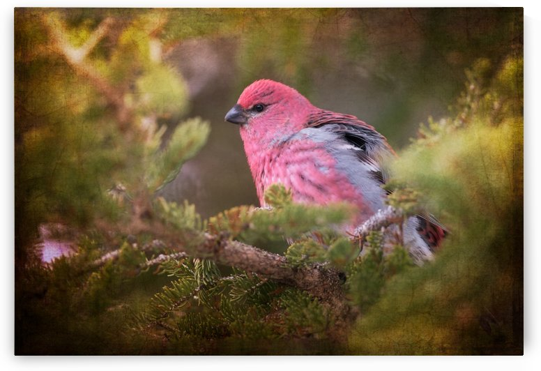 Male Pine Grosbeak by Michel Soucy