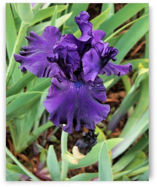 Blue Iris by Bob McCulloch