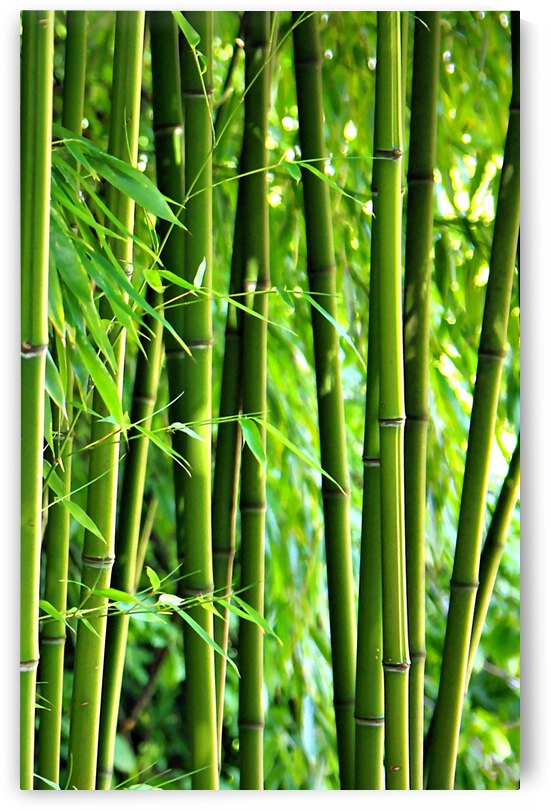 Bamboo Forest by Gabi Siebenhuehner