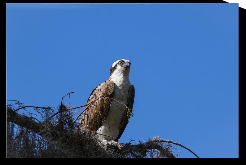 Osprey by Sabol Photo