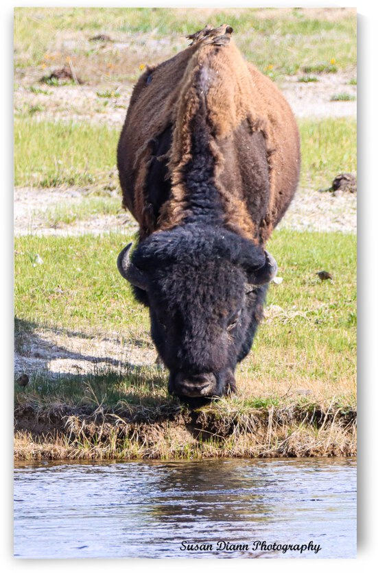 Bison-Reflections by Susan Diann Photography