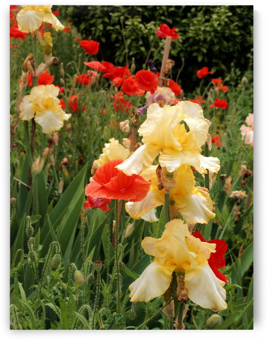 Iris with Poppies by Bob McCulloch