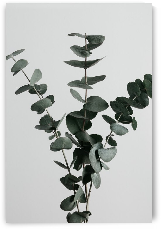 Eucalyptus Natural 01 by 1x