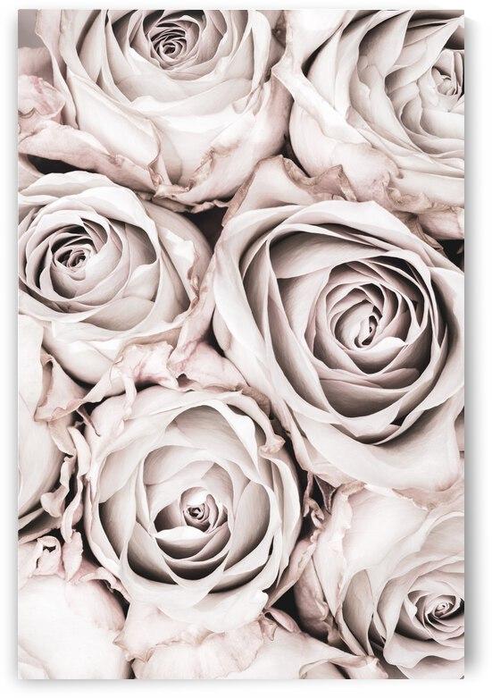Grey Roses No 01 by 1x