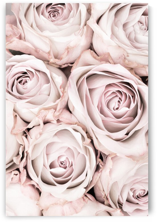Pink Roses No 01 by 1x
