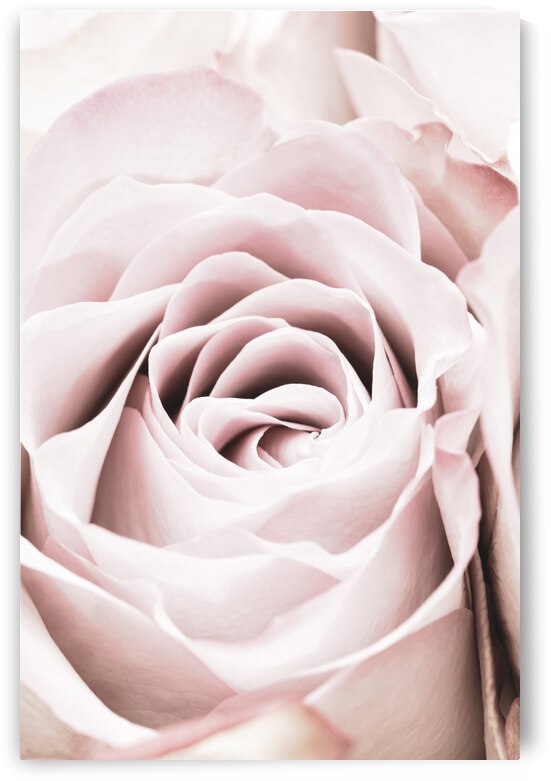 Pink Rose No 06 by 1x