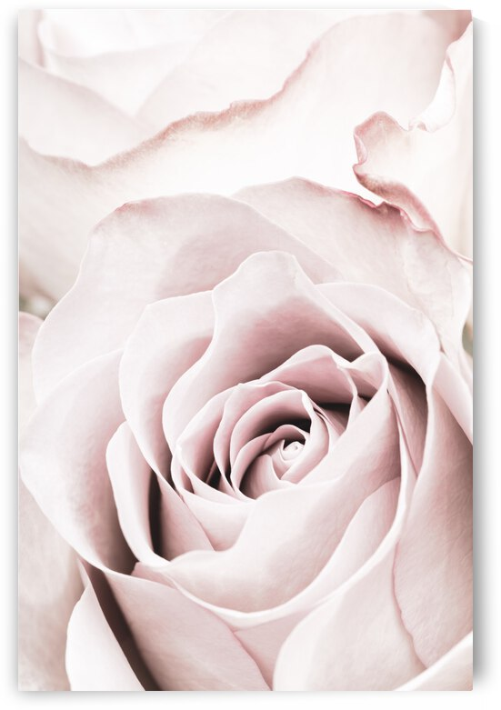 Pink Rose No 05 by 1x