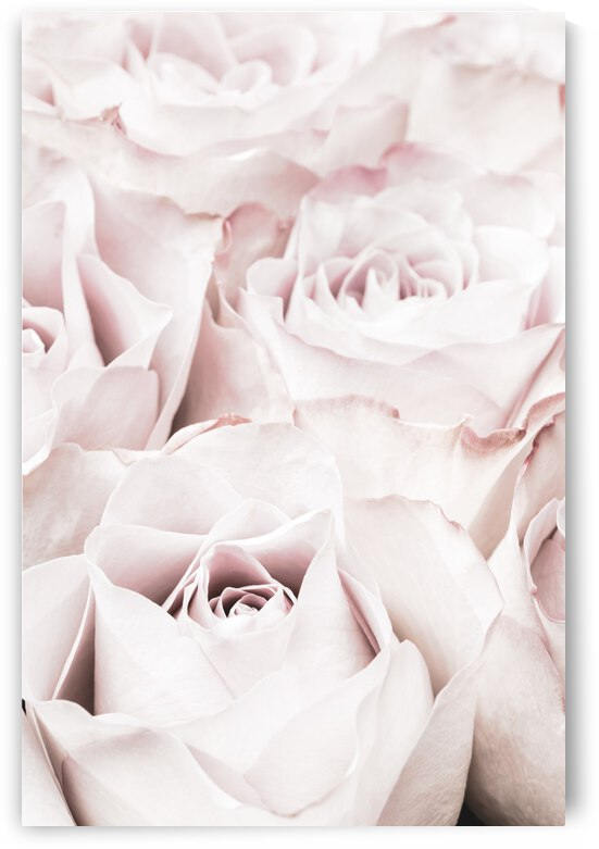 Pink Roses No 04 by 1x