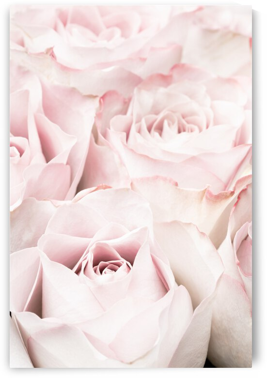 Pink Roses 05 by 1x
