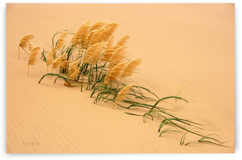 Pampas Grass in Sand Dune by 1x