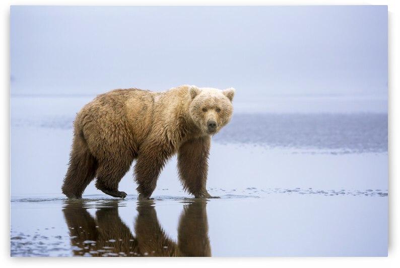 The Bear Walk by 1x