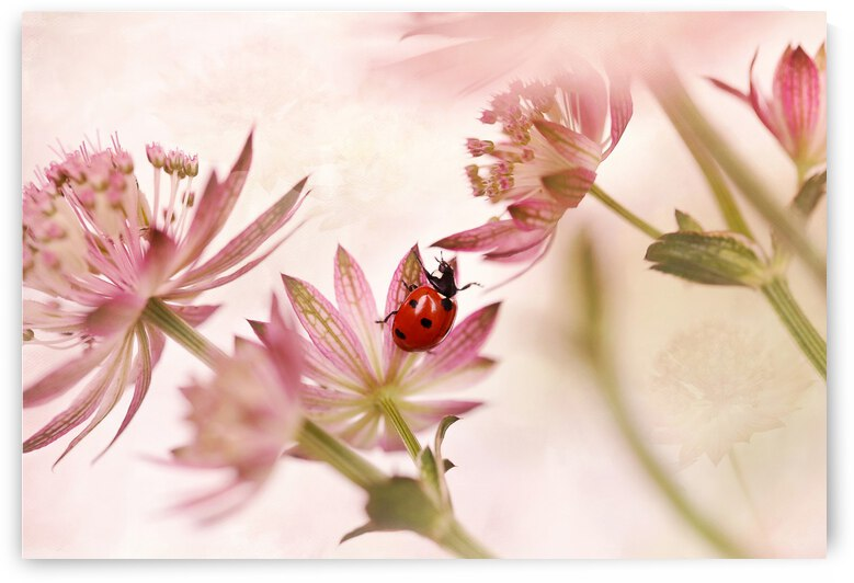 Ladybird and pink flowers by 1x