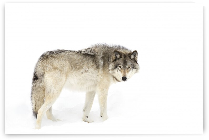 Canadian Timber wolf walking through the snow by 1x