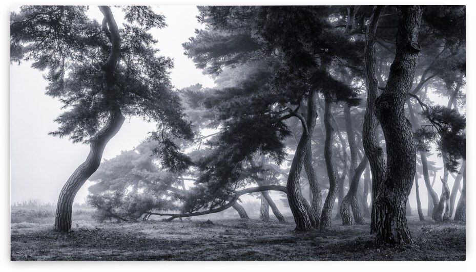 Pine trees dancing in the fog by 1x