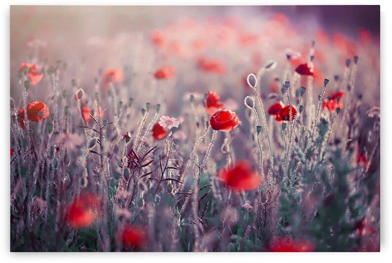 Poppy Meadow by 1x