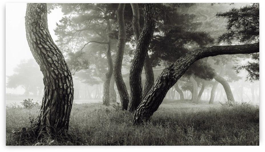 Pine Grove in Fog-1 by 1x