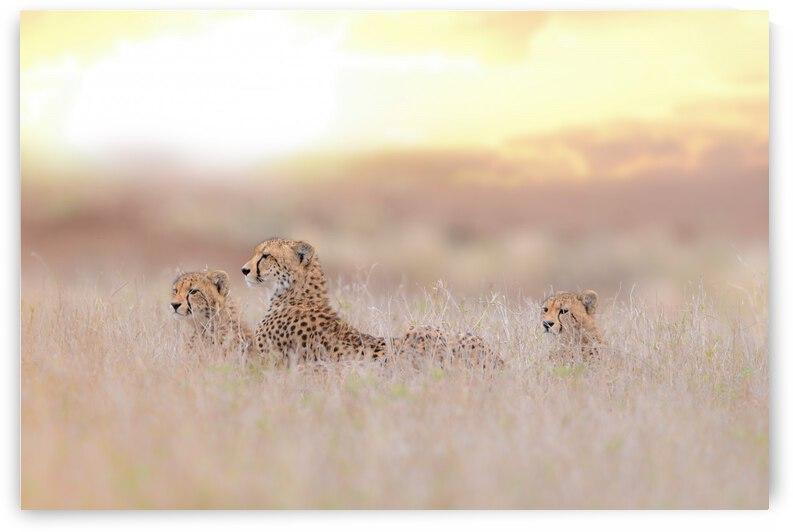 Cheetah Family by 1x